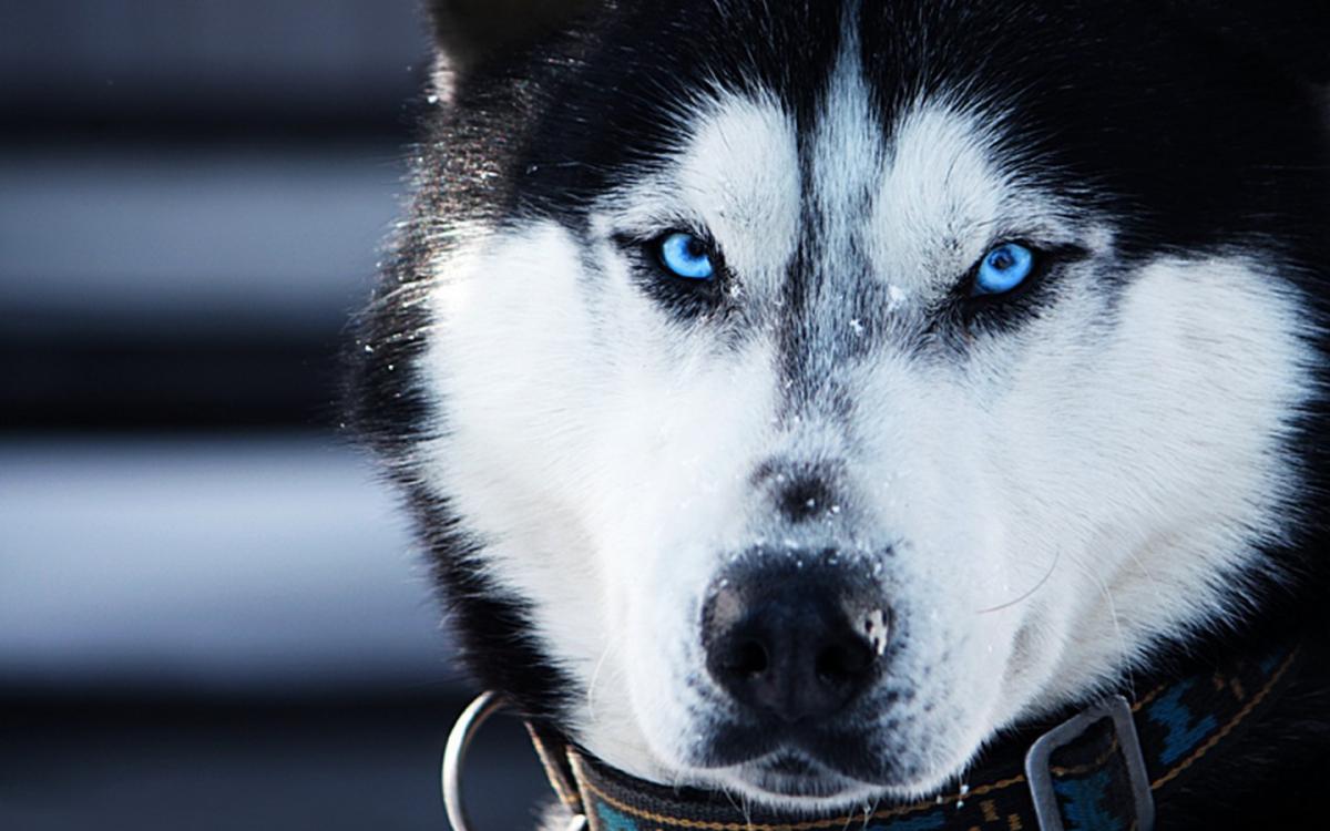 husky-siberiano1